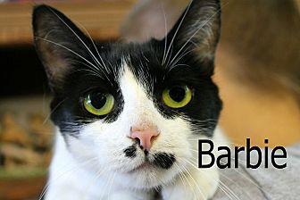 Domestic Shorthair Cat for adoption in Wichita Falls, Texas - Barbie