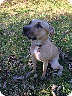 Labrador Retriever/Pit Bull Terrier Mix Dog for adoption in Redding, Connecticut - Margaret