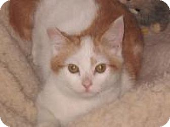 Maine Coon Kitten for adoption in Newtown, Connecticut - Carmel