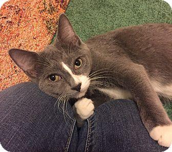 Domestic Shorthair Kitten for adoption in Barrington, New Jersey - Jenny