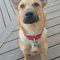 Belgian Malinois Mix Dog for adoption in Hope Mills, North Carolina - Keanu