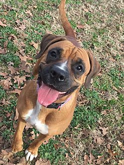 Mastiff/Boxer Mix Dog for adoption in Joplin, Missouri - Lulu