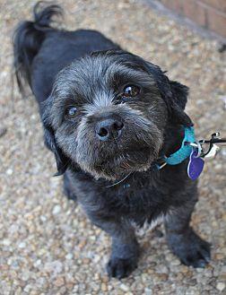 Shih Tzu/Schnauzer (Miniature) Mix Dog for adoption in Atlanta, Georgia - Mickey