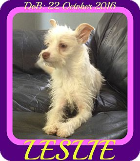 Schnauzer (Miniature) Mix Dog for adoption in New Brunswick, New Jersey - LESLIE