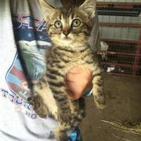Domestic Shorthair/Domestic Shorthair Mix Cat for adoption in Russellville, Kentucky - Seth