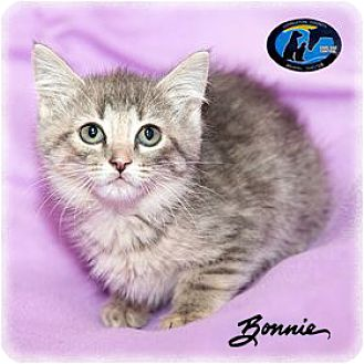 Domestic Mediumhair Kitten for adoption in Howell, Michigan - Bonnie