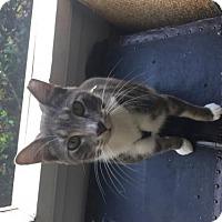 Adopt A Pet :: Samlin - Alpharetta, GA