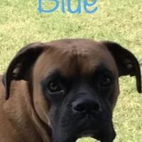 Adopt A Pet :: Bleu sg - Harrah, OK