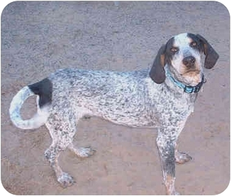 Bluetick Coonhound Dog for adoption in Rio Rancho, New Mexico - Blue