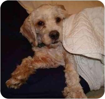 Cockapoo Mix Puppy for adoption in Melbourne, Florida - PEAT