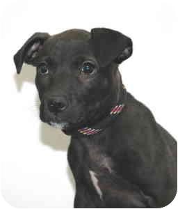 Terrier (Unknown Type, Medium) Mix Puppy for adoption in Port Washington, New York - Boo