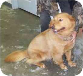 Golden Retriever Dog for adoption in Bel Air, Maryland - Sandy
