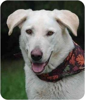 German Shepherd Dog/Labrador Retriever Mix Dog for adoption in Mora, Minnesota - Casey