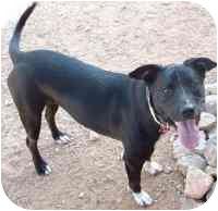 Labrador Retriever/American Pit Bull Terrier Mix Dog for adoption in Rio Rancho, New Mexico - Fiona