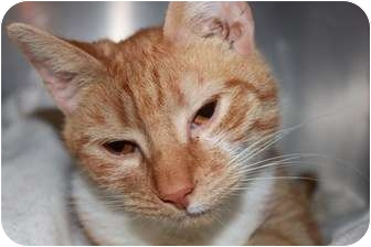 Domestic Shorthair Cat for adoption in Broadway, New Jersey - Candy