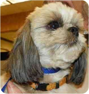 Shih Tzu Dog for adoption in Loudonville, New York - CoCo