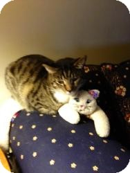 Egyptian Mau Cat for adoption in Macomb Twp, Michigan - Charlie Brown