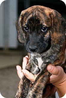 Beagle Mix Puppy for adoption in Kalamazoo, Michigan - Maverick
