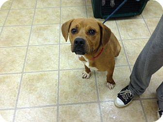 Pug/Beagle Mix Dog for adoption in Manhasset, New York - Adoptiong Pending -- Hunter