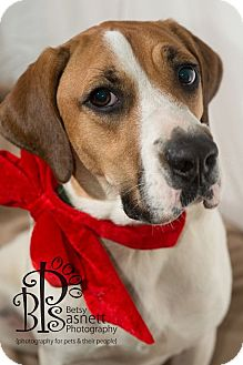 Hound (Unknown Type)/Pointer Mix Dog for adoption in Tallahassee, Florida - Betsy