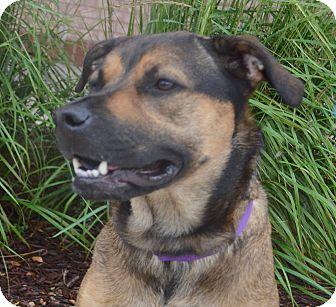 German Shepherd Dog Mix Dog for adoption in Bridgeton, Missouri - Bailey