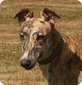 Greyhound Puppy for adoption in Portland, Oregon - Poplar