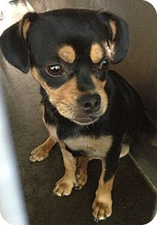 Pug/Chihuahua Mix Puppy for adoption in Los Angeles, California - Sophia