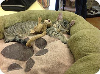 Domestic Shorthair Kitten for adoption in Lake Charles, Louisiana - Horus