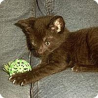 Adopt A Pet :: Brownie - Orlando, FL
