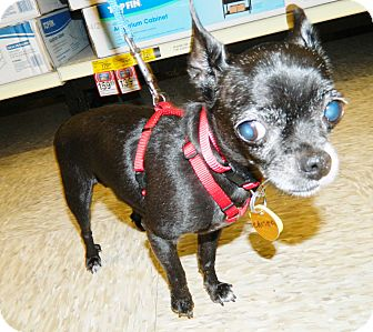 Chihuahua Mix Dog for adoption in Umatilla, Florida - Chispa