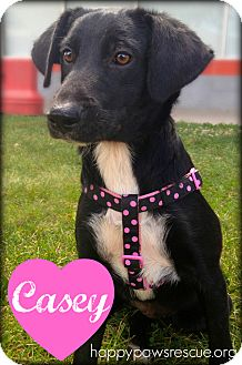 Labrador Retriever Mix Puppy for adoption in South Plainfield, New Jersey - Casey