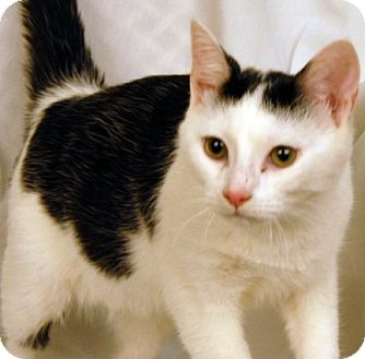 Domestic Shorthair Cat for adoption in Newland, North Carolina - Robin