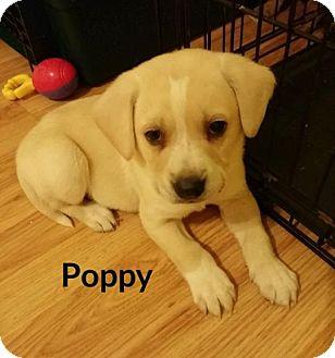 Labrador Retriever Mix Puppy for adoption in Lincoln, Nebraska - POPPY