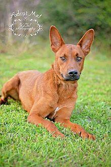 German Shepherd Dog Mix Dog for adoption in Fort Valley, Georgia - Austin