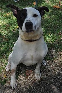 Pit Bull Terrier/Pointer Mix Dog for adoption in Pike Road, Alabama - Canis