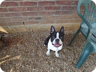 Boston Terrier Dog for adoption in Marshall, Texas - Harry