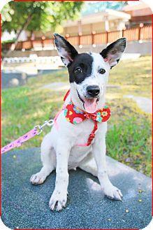 Terrier (Unknown Type, Medium) Mix Puppy for adoption in Castro Valley, California - Ireen