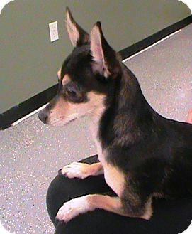 Chihuahua Dog for adoption in Maynardville, Tennessee - Jewel