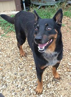 German Shepherd Dog/Cattle Dog Mix Dog for adoption in Post, Texas - Rob