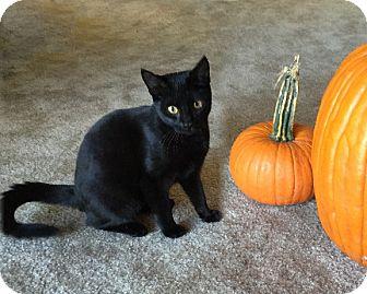 Domestic Shorthair Kitten for adoption in Rochester, New York - Riley