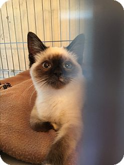 Snowshoe Kitten for adoption in Clovis, New Mexico - *ELODIE*