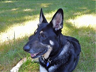 German Shepherd Dog Dog for adoption in Woodinville, Washington - Blue