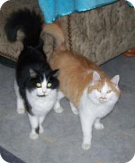Domestic Longhair Cat for adoption in Huntington, Vermont - Tux & Marty