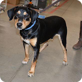 Hound (Unknown Type)/Labrador Retriever Mix Puppy for adoption in Hopkinsville, Kentucky - Buddy