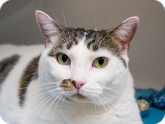 Domestic Shorthair Cat for adoption in Seville, Ohio - Monique