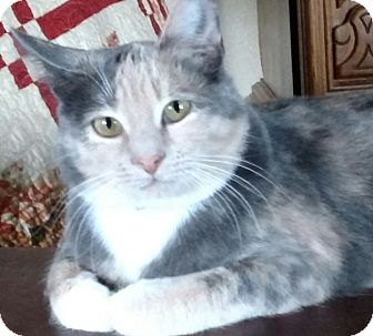 Domestic Shorthair Cat for adoption in Buhl, Idaho - Miss Patsy