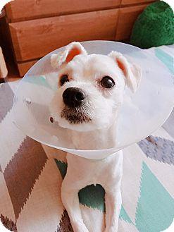 Maltese Mix Dog for adoption in Fairfax, Virginia - Fluffy