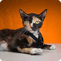Calico Cat for adoption in Brea, California - ROWENA