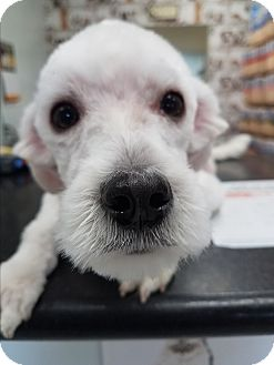 Poodle (Miniature)/Maltese Mix Puppy for adoption in Fullerton, California - Warren