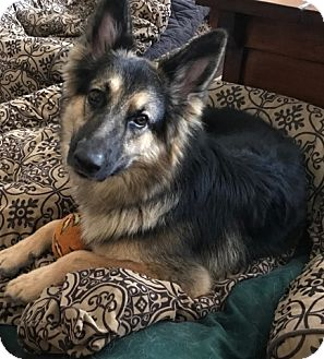 German Shepherd Dog Dog for adoption in Houston, Texas - Amanda Adoption Pending